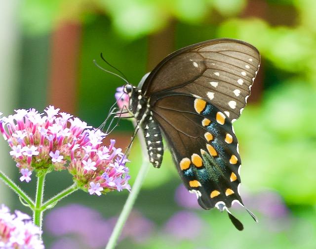spicebush-swallowtail